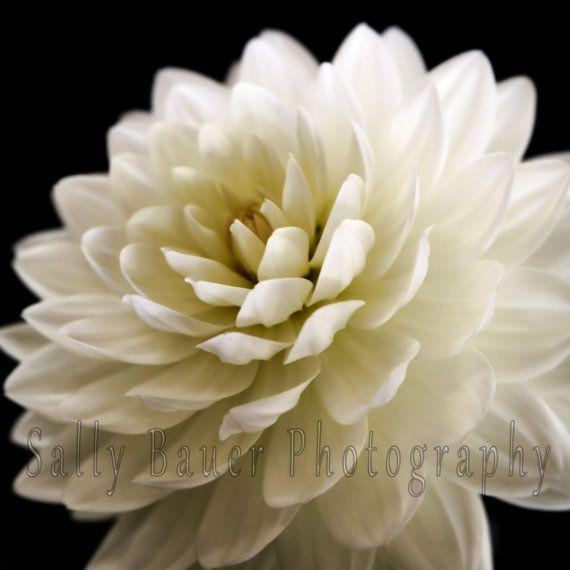White Dahlia Fine Art Photograph ~ Floral Fine Art Photography ~ 12 x 12 Square on Etsy, $30.00