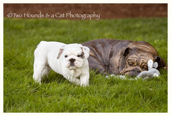 White Bulldog Puppy And Friend Bulldog Puppies Puppies Animals