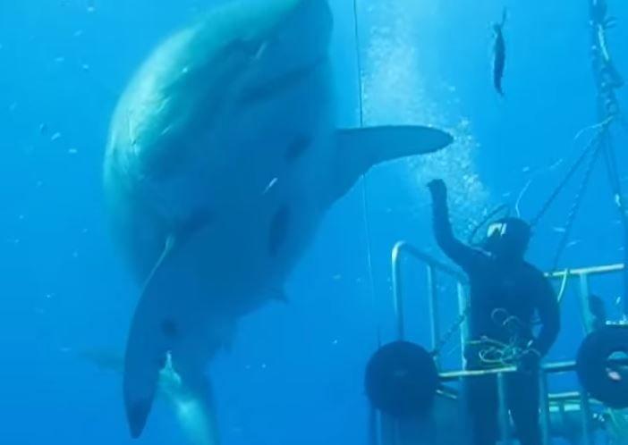 Diver 'high-fives' massive great white shark