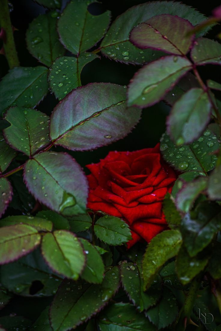 Shy red rose roses u flowers pinterest flowers