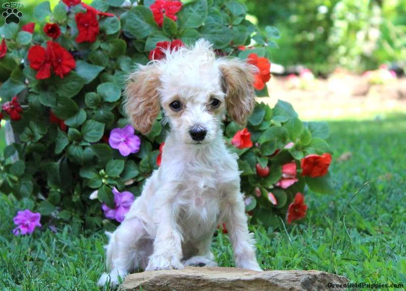 Frisky Toy Poodle Puppy For Sale In Pennsylvania Poodle