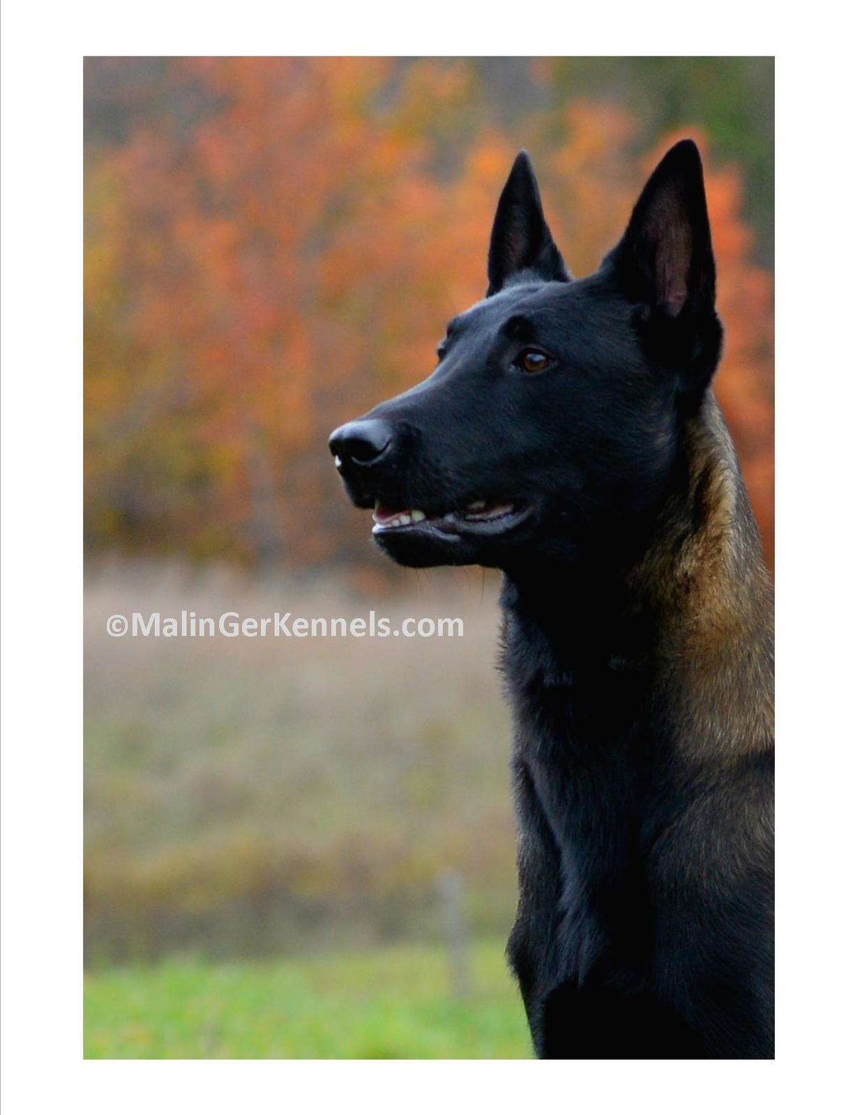 Malinger Kennels Armani Belgian Malinois Dog Belgian Malinois Malinois Dog