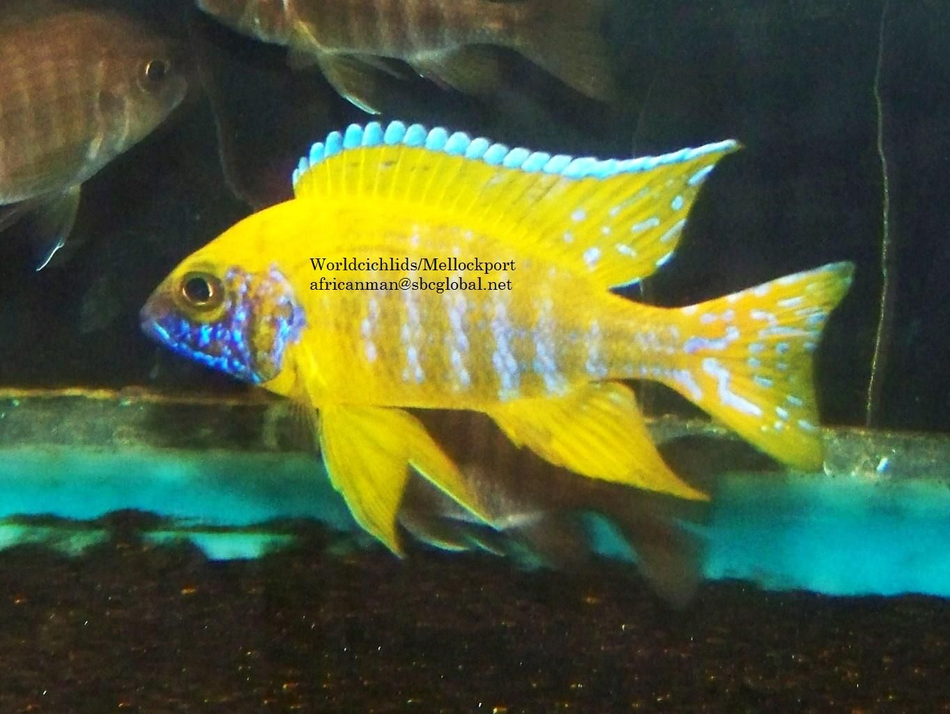 Pin By Michelle Demaagd On Snorkeling Cichlid Fish Cichlids African Cichlids