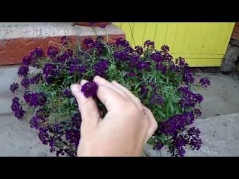 Лобулярия имеет несколько видов, которые годятся для посадки в бедную почву. На фото можно увидеть, как эффектно выглядит растение.
