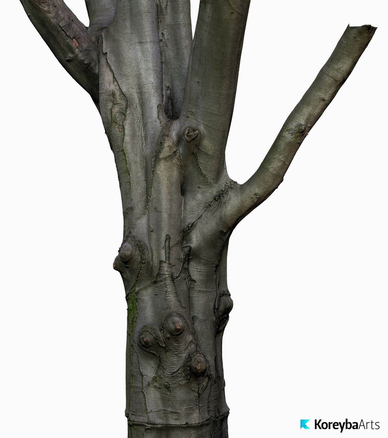 Tree Trunk 3D model Beech KA01  OBJ  ZTL 30k texture | Tree Trunk