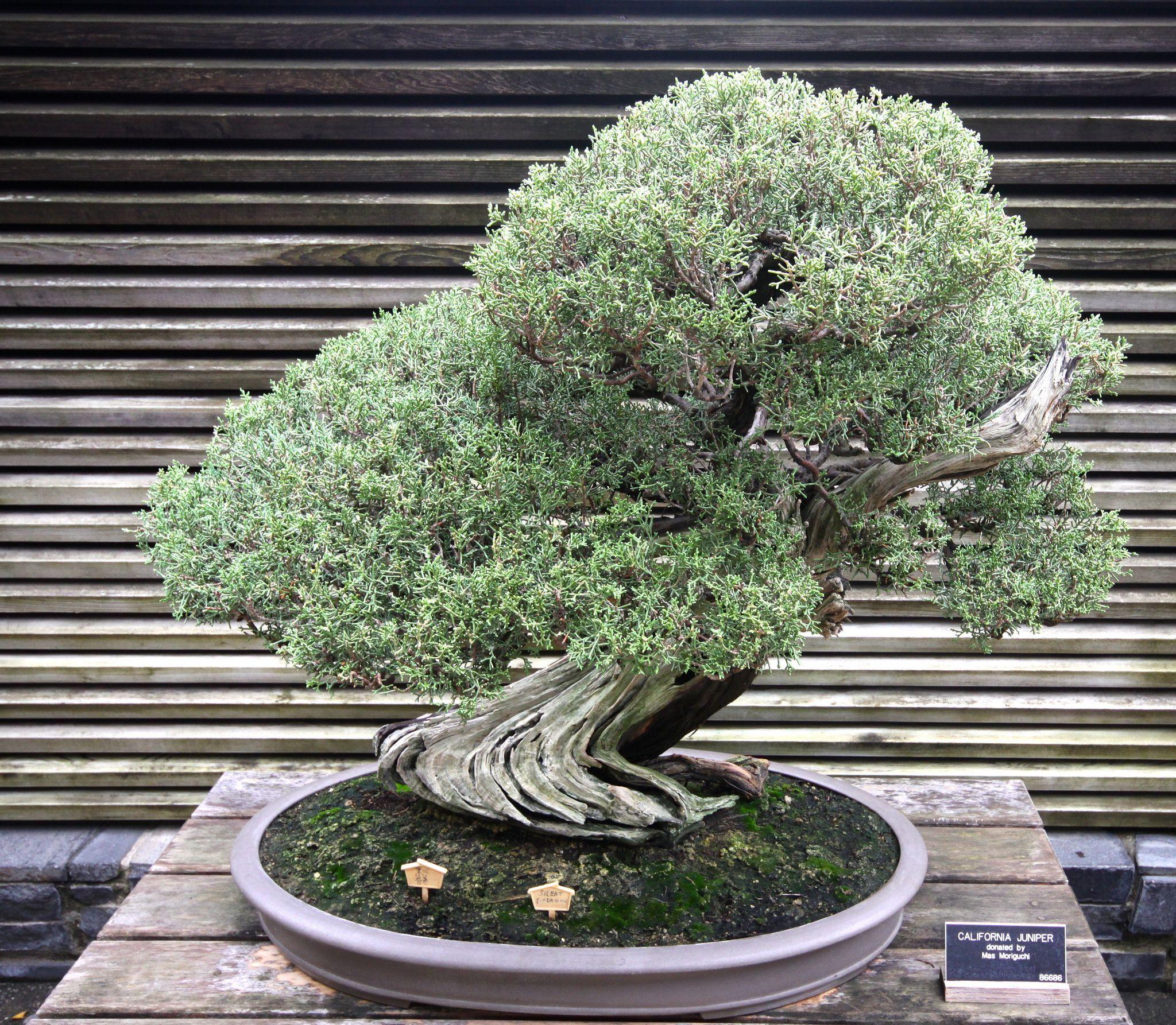 Juniperus Californica California Juniper Japanese Garden Juniper Bonsai Bonsai Garden