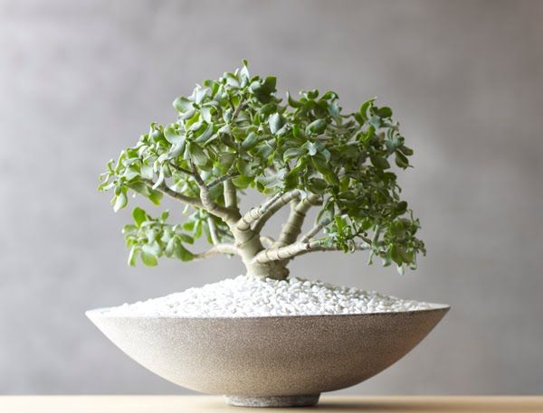 Every home needs a beautiful, low-maintenance jade tree by Kermodi Living Art.  Available through Parliament Interiors