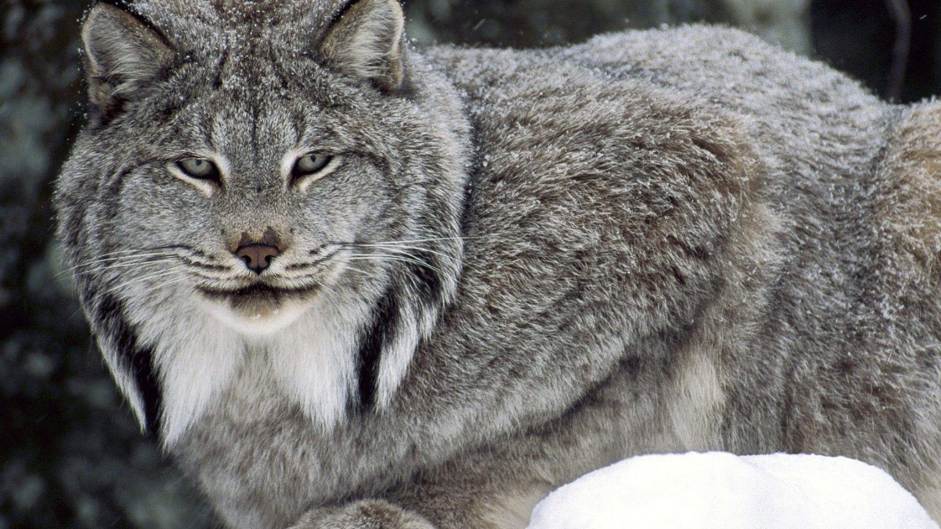 Wallpapers nature, animals, wildlife, lynx, Canada