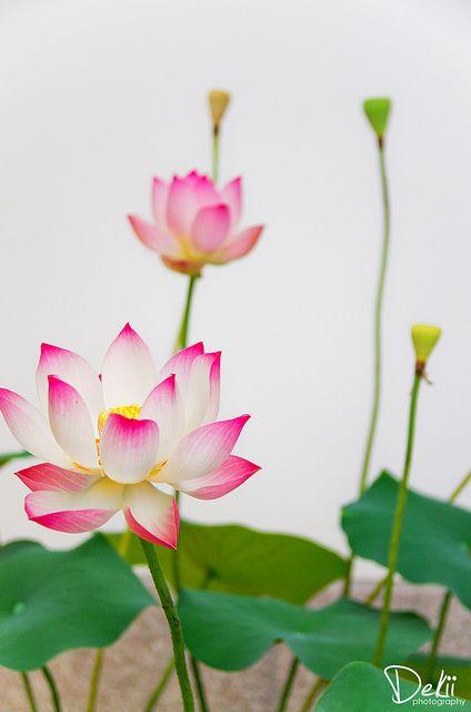 Lotus on Flickr.    Via Flickr:  PENTAX K-5, SIGMA18-125mm f3.8-5.6 DC  Nanyoin Temple, KYOTO