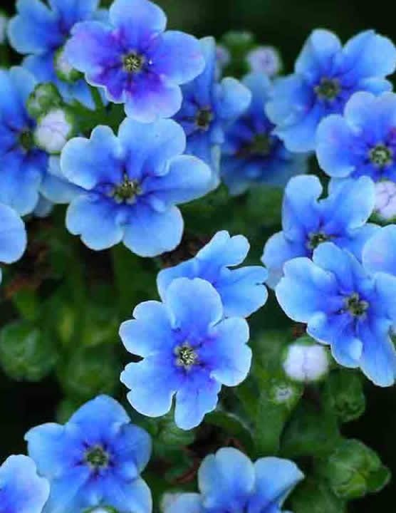 Forget Me Not Flowers Meaning Florists N Z Best Blooms