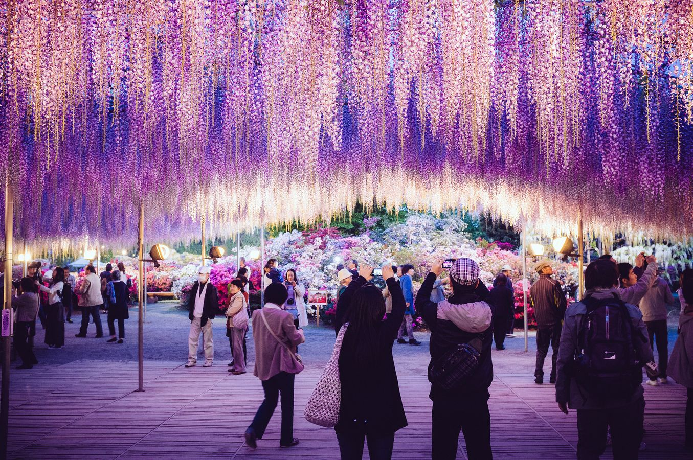 The Vines Of A Wisteria Plant In Japan S Ashikaga Flower Park Have Been Trained For Over 100 Years To Resemble A Tree That Measures 10 000 Square Feet Wisteria Tree Purple Wisteria Wisteria Plant