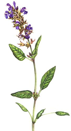 Sage Illustration Botanical illus...