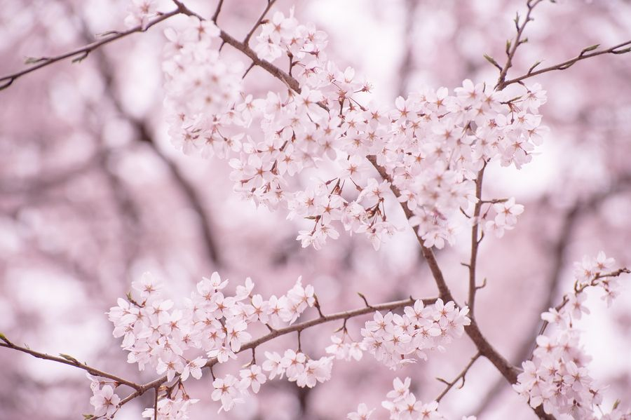 Cherry Blossoms Has Bloomed By Aki Ono On 500px Cherry Blossom Blossom Bloom