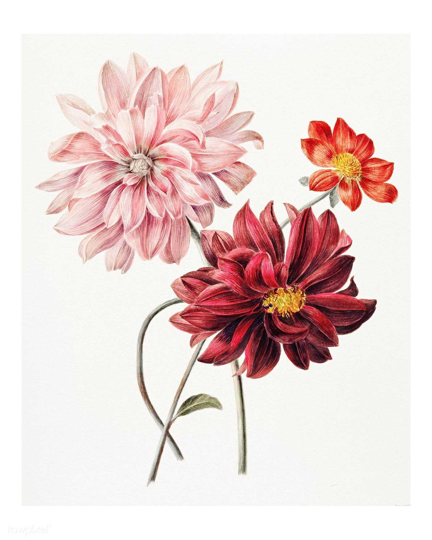 Download Premium Illustration Of Colorful Dahlias Vintage Illustration In 2020 Flower Illustration Illustration Wall Art Digital Flowers