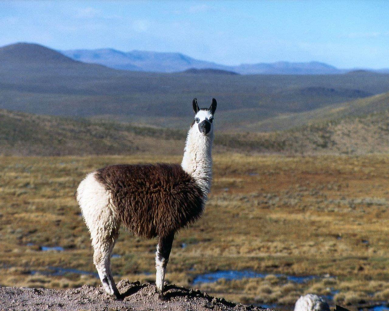 llama wallpapers hd Buscar con Google Llama