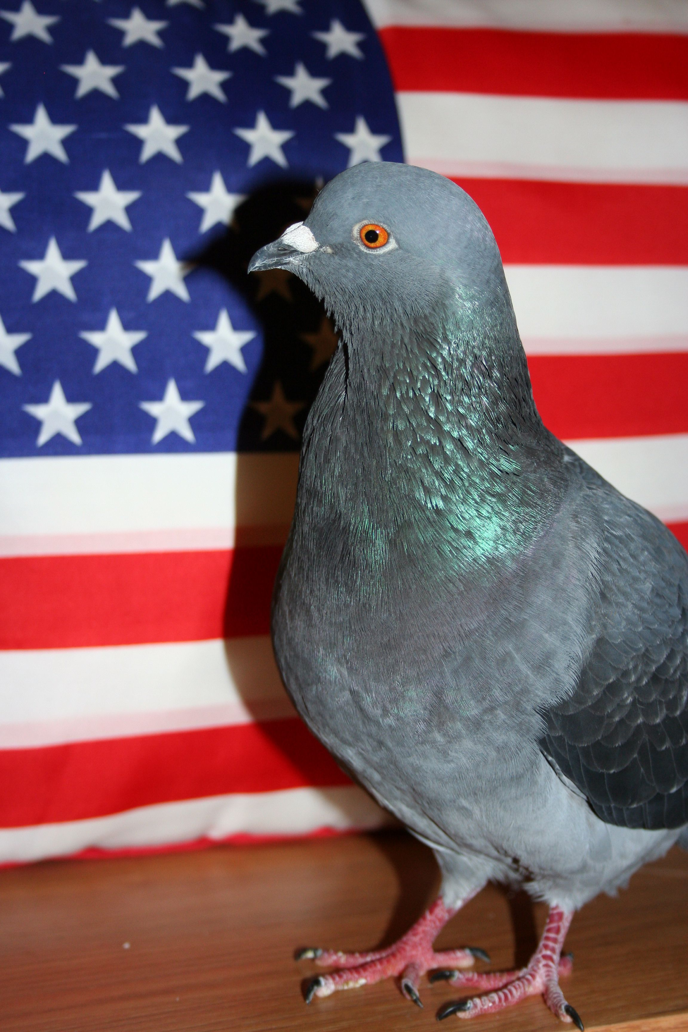National Pigeon Day is June 13!