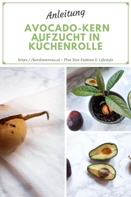 Avocado-Kern Aufzucht Methode in Küchenrolle