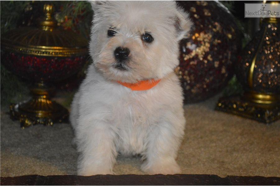 Orange Collar Westie Puppies Westie Puppies For Sale West Highland White Terrier