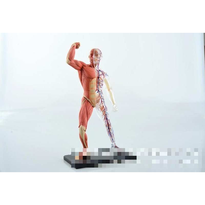4D Body Building Human Muscle Male Anatomy Model - The life size ...