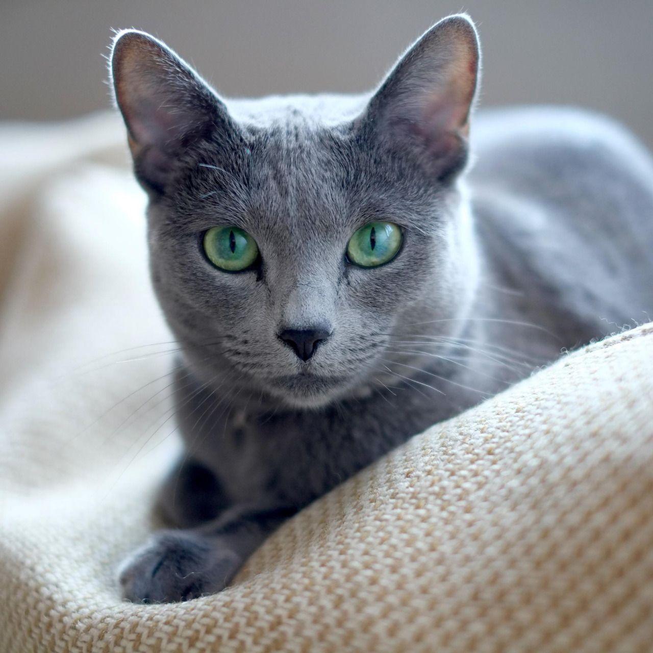 Russian Blue Cats Czarvena Tamara Of Ramenka Russian Blue Cat