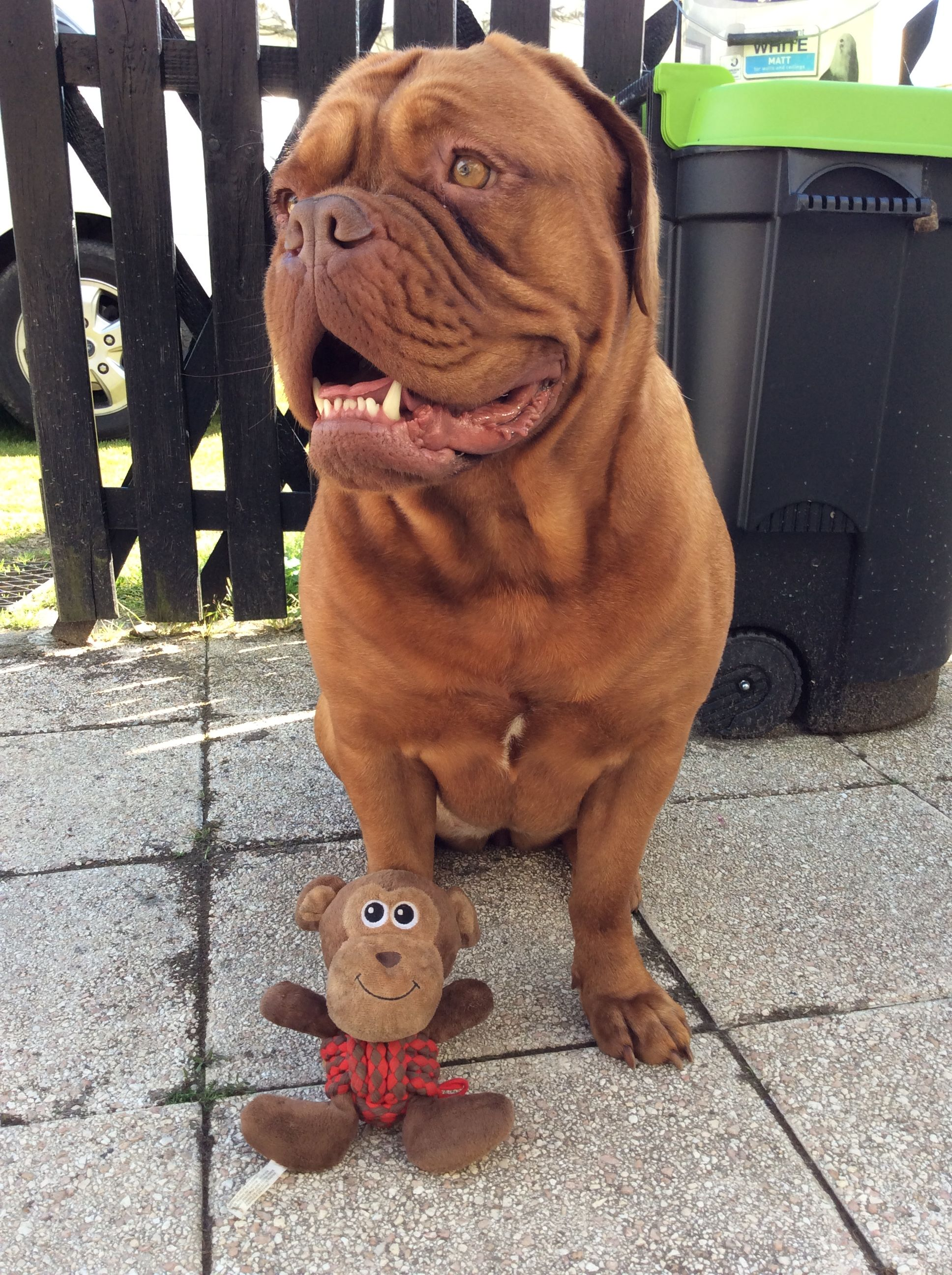 Kilo With Her Favourite King Monkey Toy Bordeaux Dog French