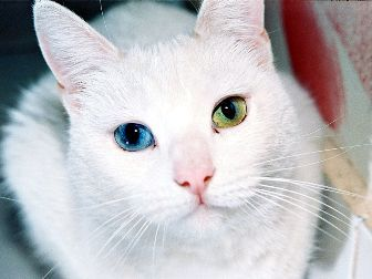 White Cat One Blue Eye One Green Eye Gorgeous Cats Different Colored Eyes Angora Cats