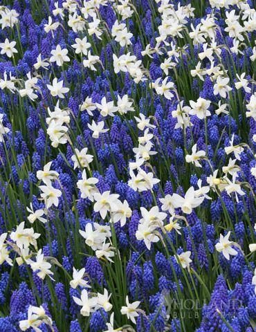 Bell Song Daffodil + Blue Grape Hyacinth or Muscari