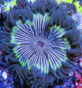 Green Rim Rock Anemone Stripped Live Coral Aquarium Flower Rock Anemone Reef Ocean Creatures Saltwater Aquarium Fish Sea And Ocean