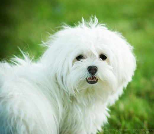 Top 10 Most Expensive Dog Breeds In India Maltese Dogs