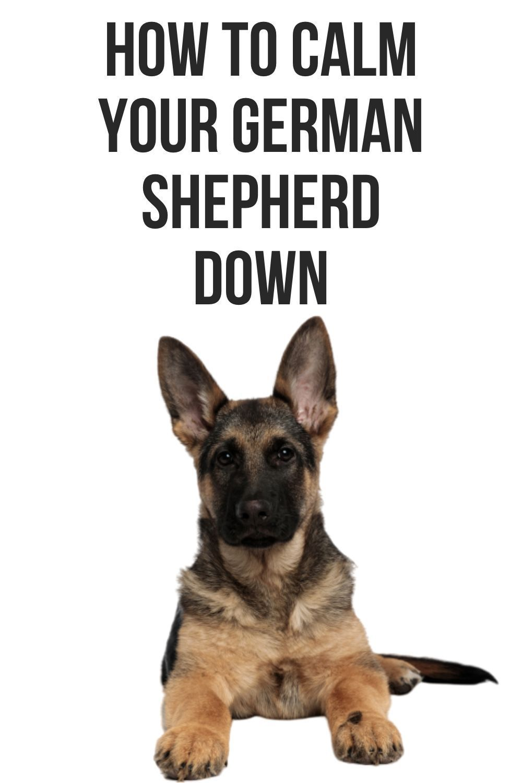 When German Shepherds Calm Down In 2020 German Shepherd Barking German Shepherd German Shepherd Shedding