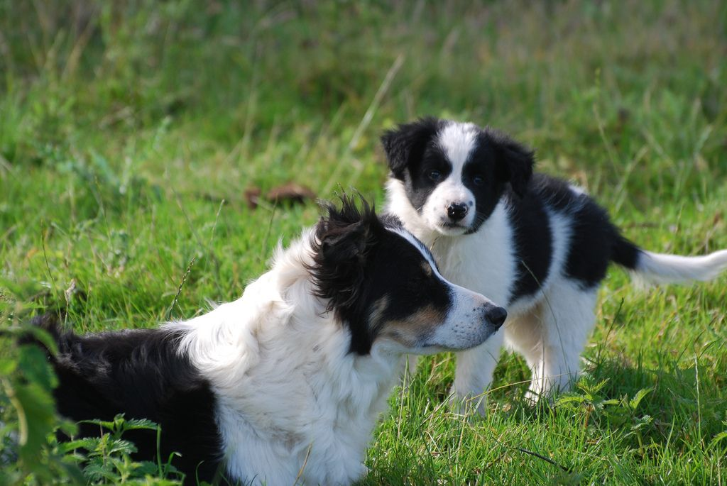 Border Collies Beautiful Working Dogs And Family Pets World