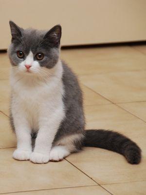 I Iz Supposed To Beez Joggin Butz Overslept I Beez Runnin Late Pretty Cats Cute Cats British Shorthair Cats