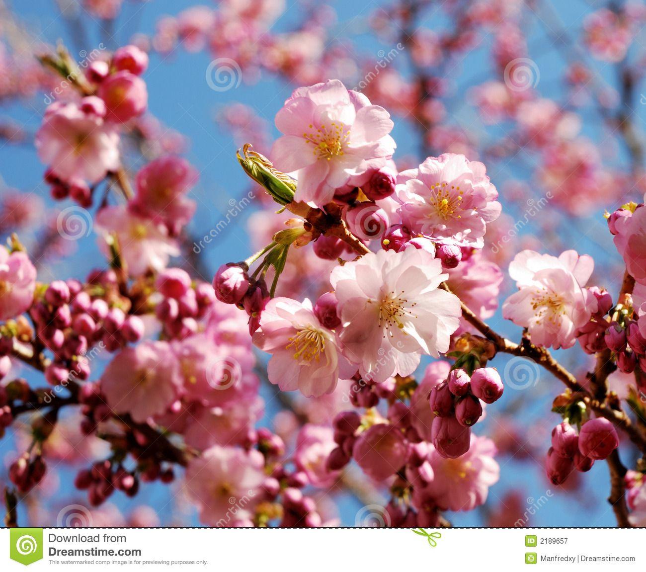 Pink Flowering Cherry Tree 2189657g 13001151 Fantasy Garden