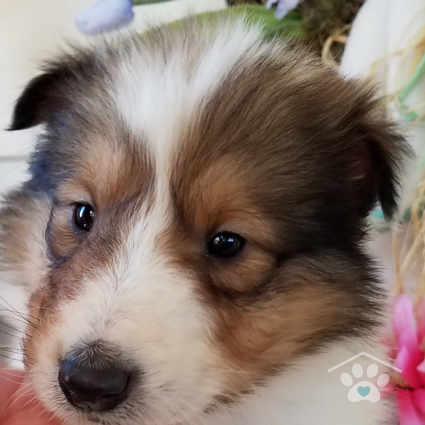 Blue Merle Rough Collie Beautiful 3 Rough Collie Collie Dog Collie