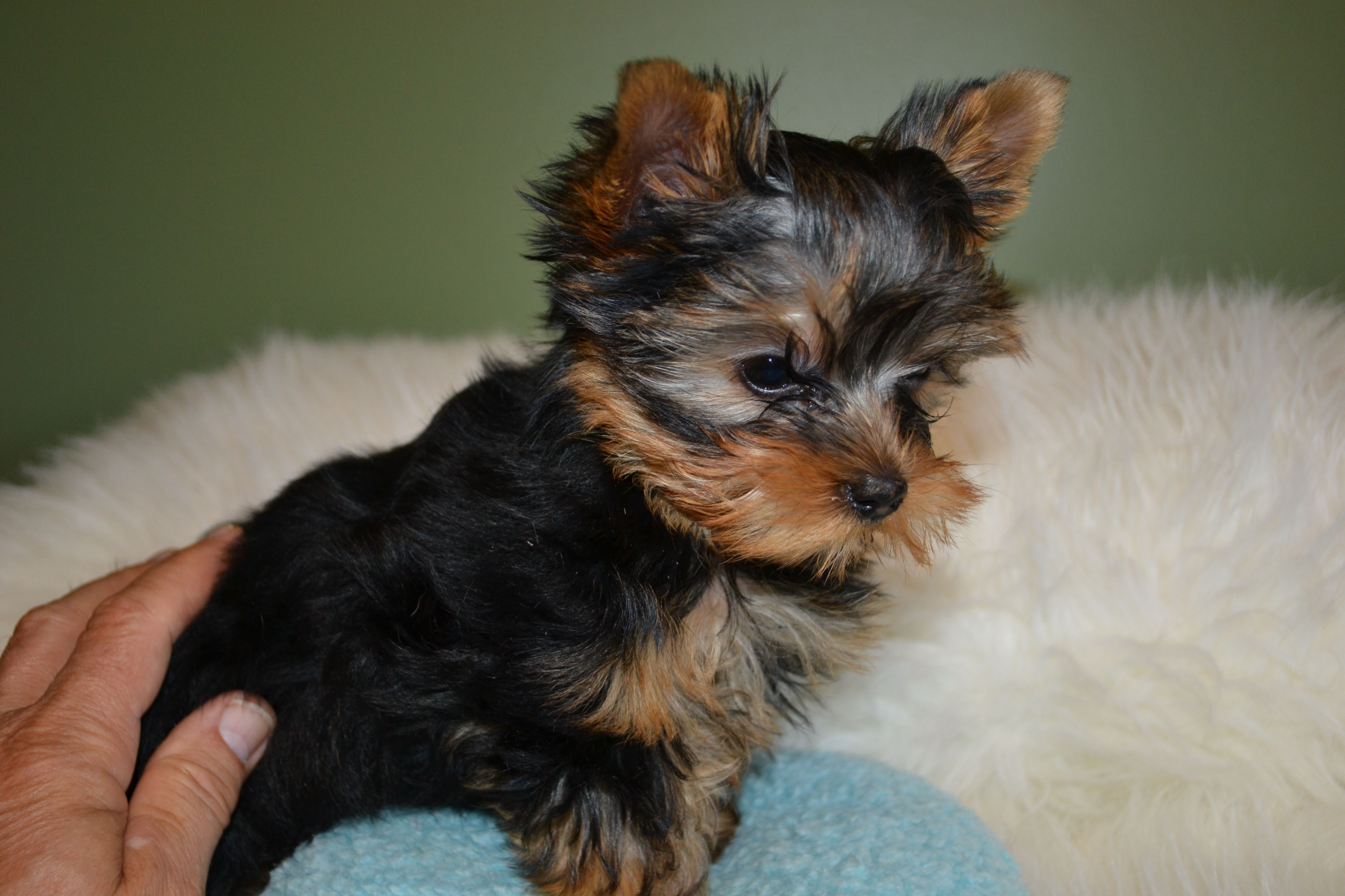 teacup yorkie puppies for sale mn