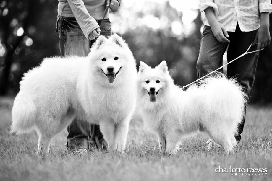 Pin By Angie On Animals Japanese Spitz Japanese Spitz Dog Samoyed