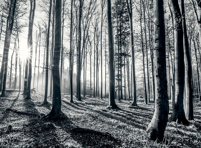 Giant Size Black And White Forest Wallpaper Mural. Perfect Decoration Wall  Mural Photo Wallpaper For