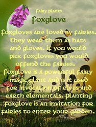 Fairy Plants - Foxglove