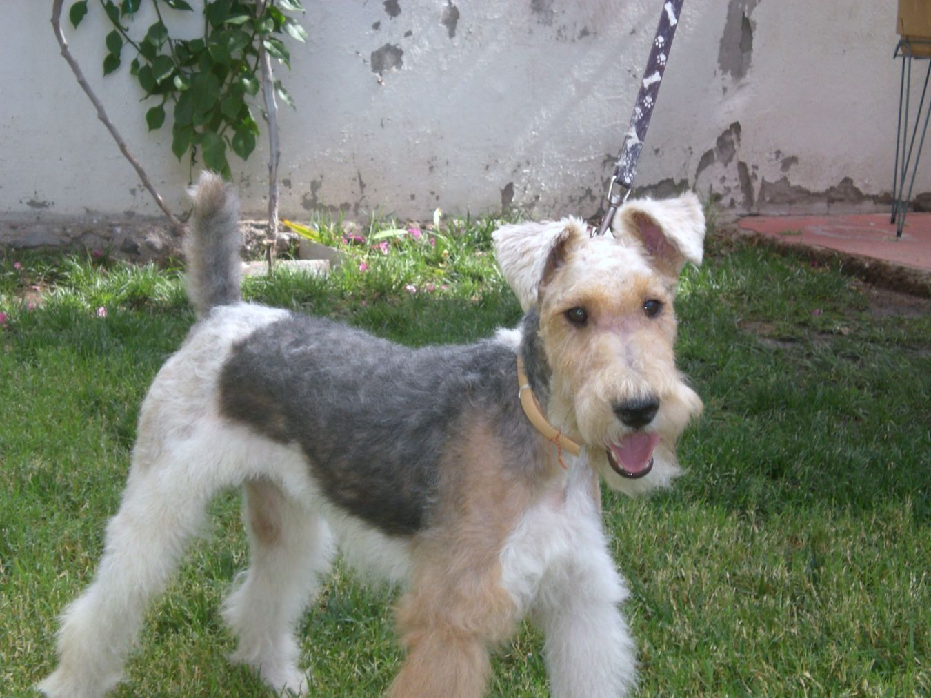 Marcis Fox Terrier wire hair Breeder: My Fox Terriers A French Wire ...