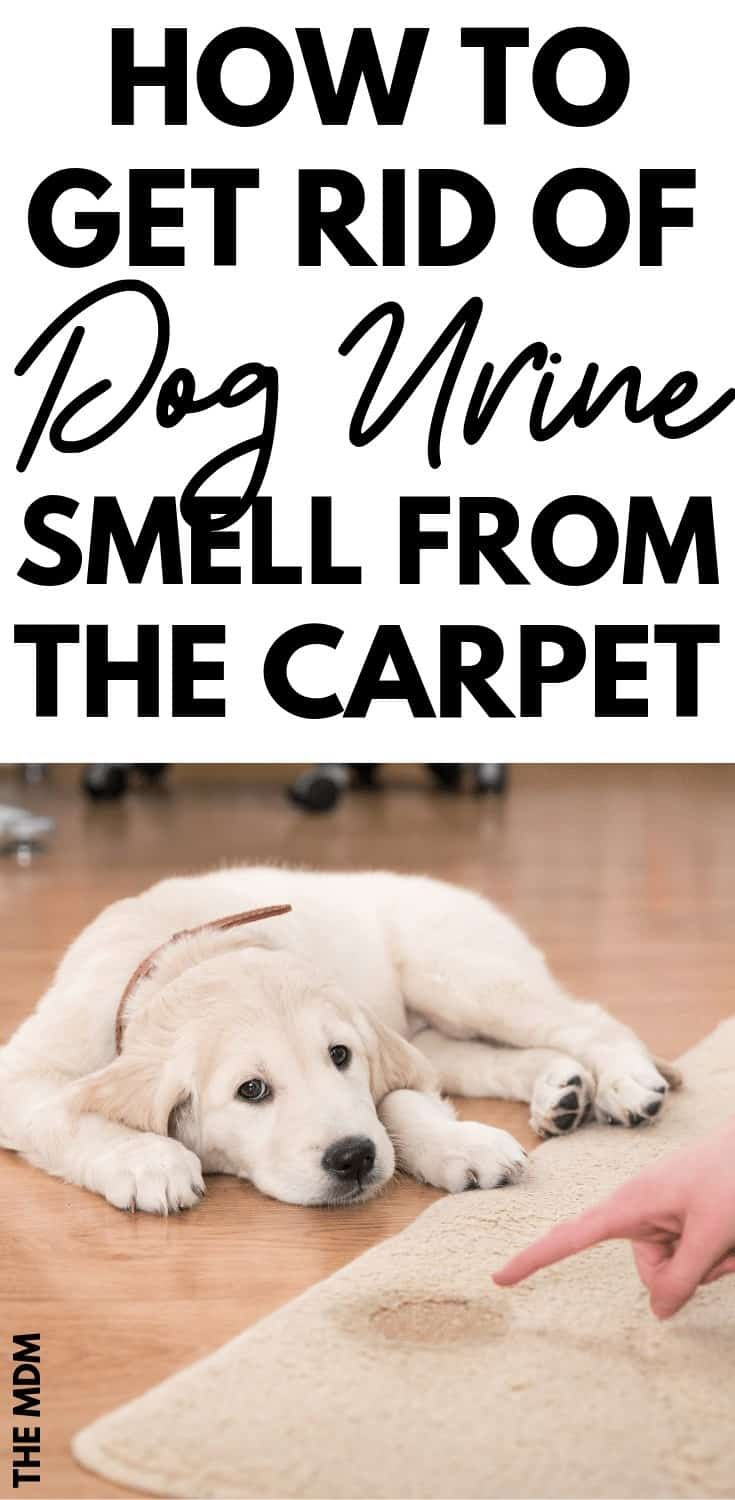 How To Naturally Remove Dog Urine Smell From The Carpet Removing Dog Urine Smell Dog Pee Smell Dog Urine Odor Remover