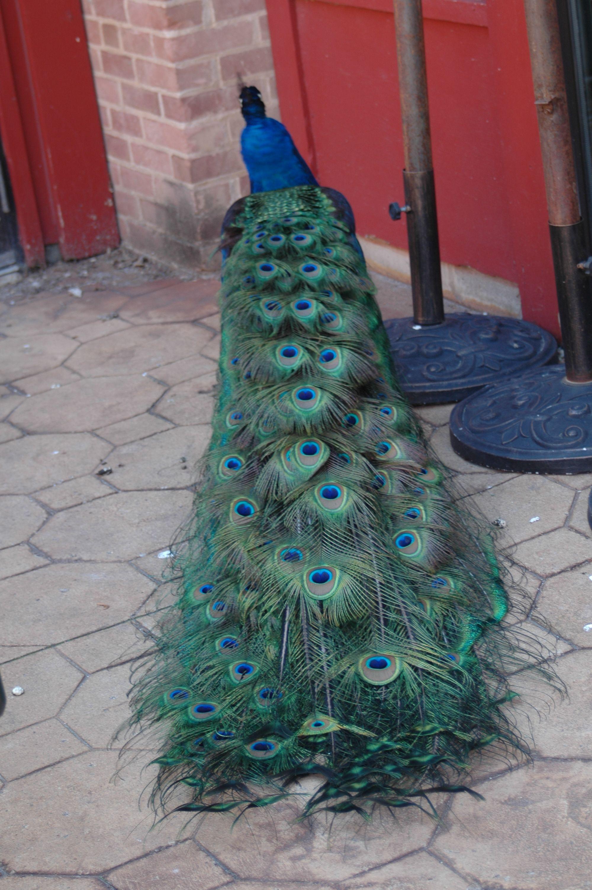 Peacock in New Ulm Minnesota 2012