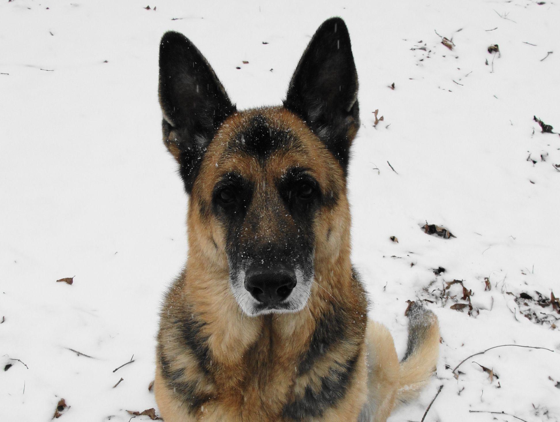 German Shepherd Dusty in Snow 2014! German