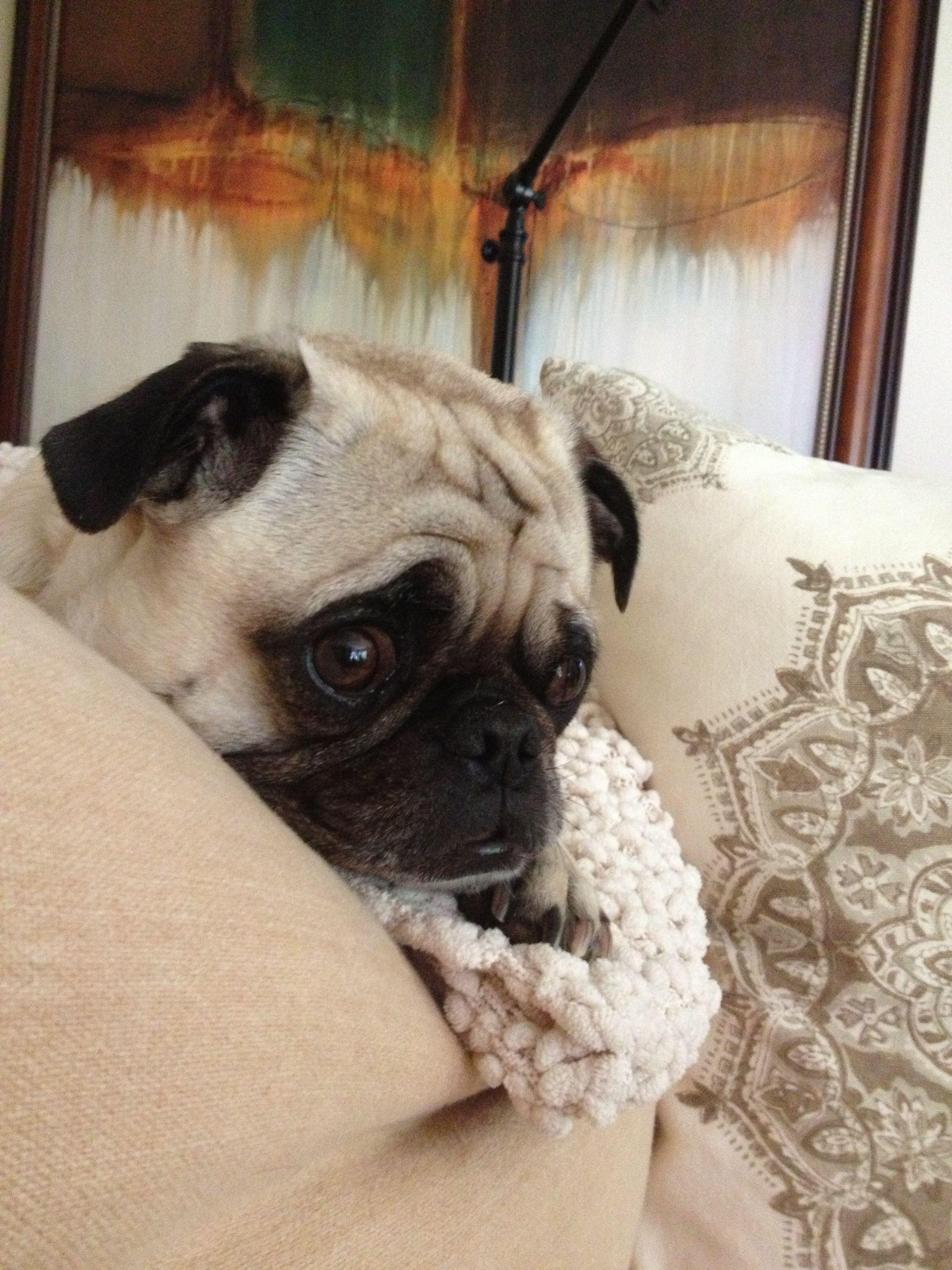 Sweet Gus Pet Pug