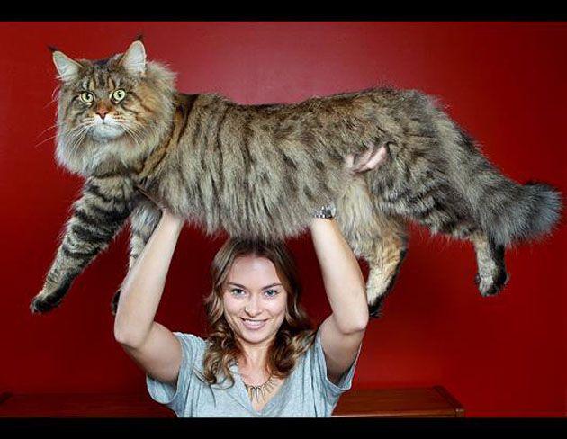the biggest cat ever!!!