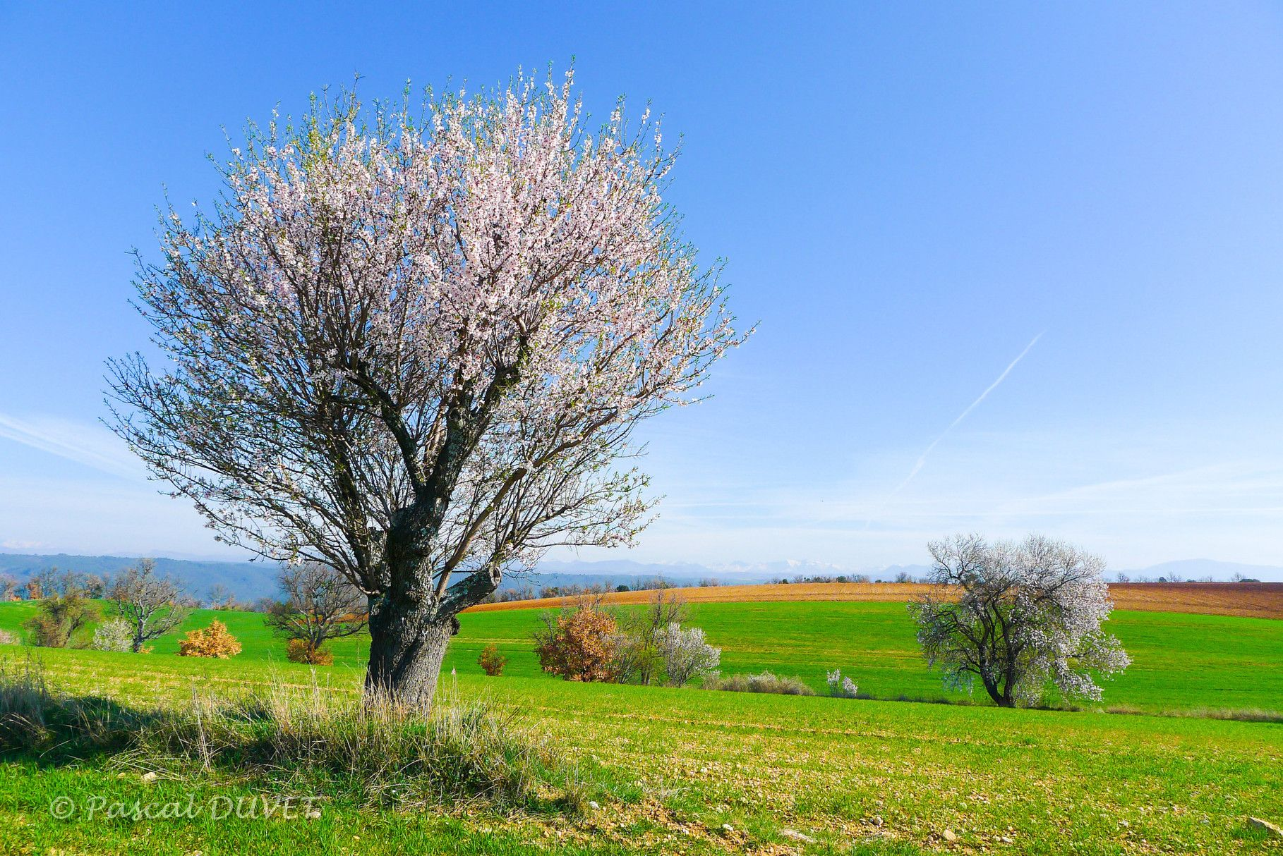 Valb10 Amandiers En Fleurs Sur Le Plateau De Valensole