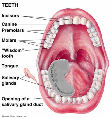 Teeth Diagram Showing Anatomy Components Of The Mouth With Tooth