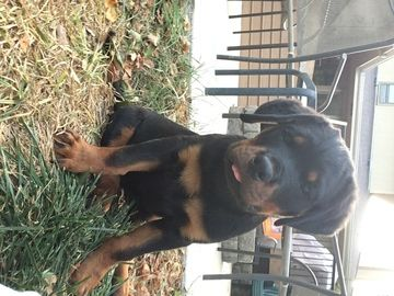 Rottweiler Puppy For Sale In Omaha Ne Adn 46344 On Puppyfinder