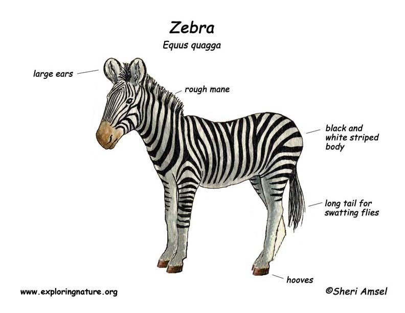 zebra_diagram.jpg (792×612)