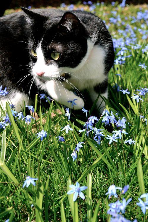 i-justreally-like-cats-okay:  My kitty powder, hunting in the flowers!