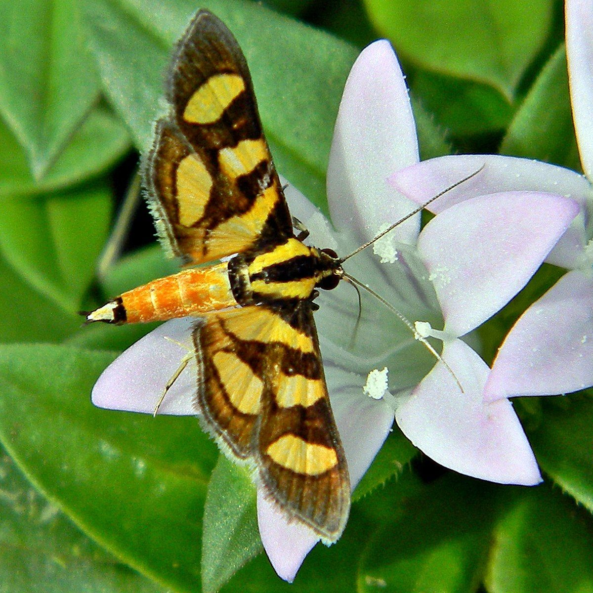 Orange Spotted Flower Moth Syngamia Florella 1 5 Cm North America Mit Bildern